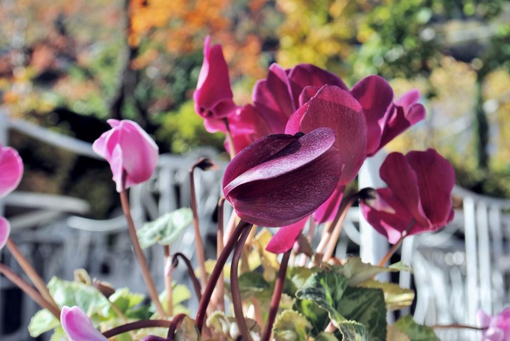 terrassenblume-pink