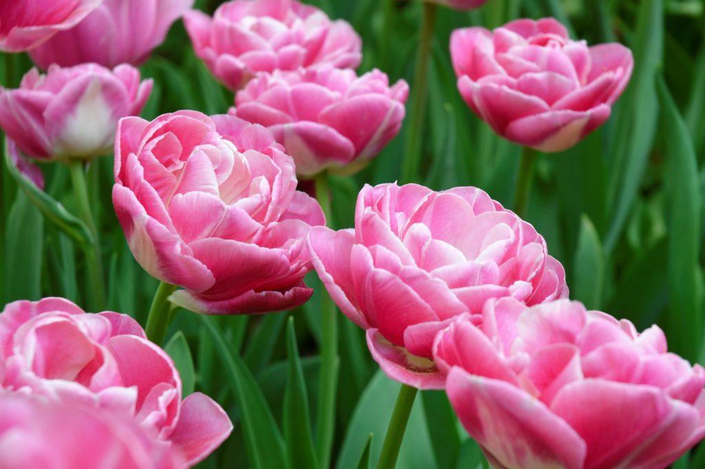Tulpen in pink